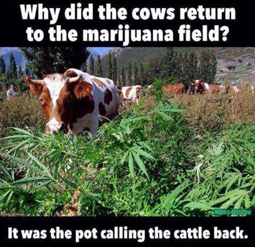 Tickled #574: Why did the cows return to the marijuana field? It was the pot calling the cattle back.